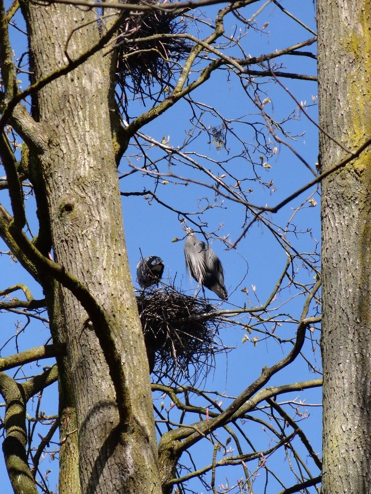 Great Blue Herons nesting in Stanley Park - Vancouver -  photo/lucie