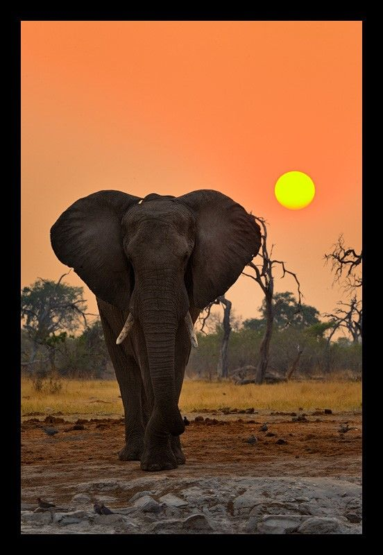 The mighty African elephant