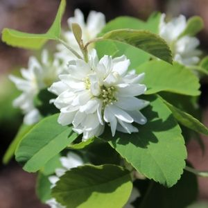 See our selections of Serviceberry for your landscape or garden, delivered to your home.