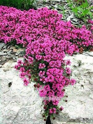 Un perenne resistente en las zonas 4-9, Creeping Thyme tiene un lugar en casi todos los jardines. Cae en cascada muy bien en un jardín de rocas, se llena de grietas, derrames de los plantadores. En verano, está cubierto de pequeñas flores púrpuras que atraen a las abejas y las mariposas. Incluso puede ser plantado como un césped que nunca necesita segar.