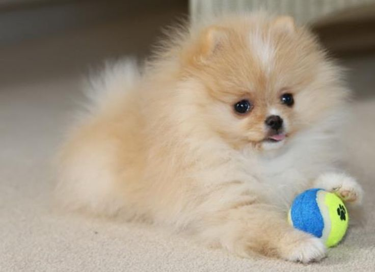 Best Pomeranian Love Images On Pinterest Dogs Baby Animals - Someone should have told this dog owner that pomeranians melt in water