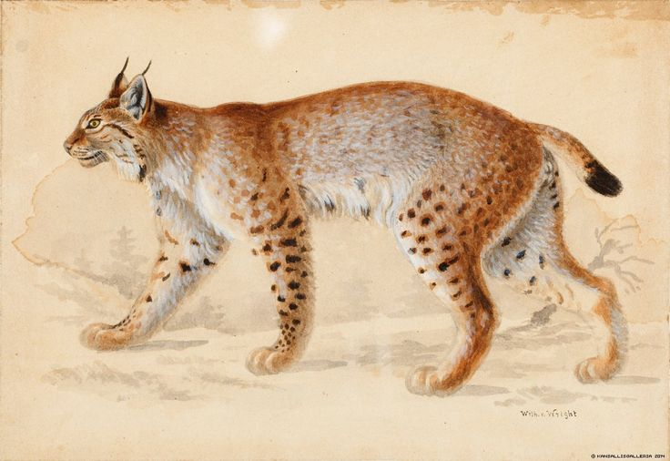 Lynx Artist: Wilhelm von Wright Photographer: Finnish National Gallery/Tero Suvilammi Copyrights © Artists, photographer, other copyright holders, the Visual Artists' Copyright Society Kuvasto and the Finnish National Gallery via kokoelmat.fng.fi