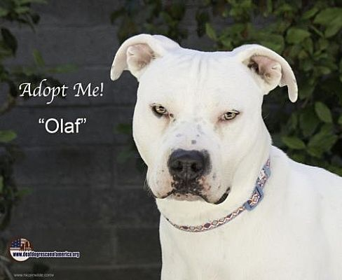 Pictures Of Olaf A Pit Bull Terrier For Adoption In Acton Ca Who