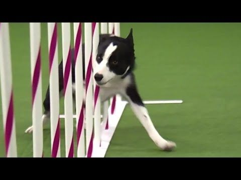 Watch Border Collie, Tex, Win 2015 Masters Agility Championship - YouTube  Check it out at the end...he is just so excited...What a champ! :)