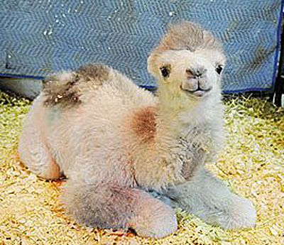 Love this baby camel!!!! Wish I could pet it