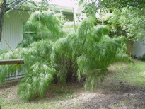 Mexican weeping bamboo, clumping non invasive screen plant #shrub
