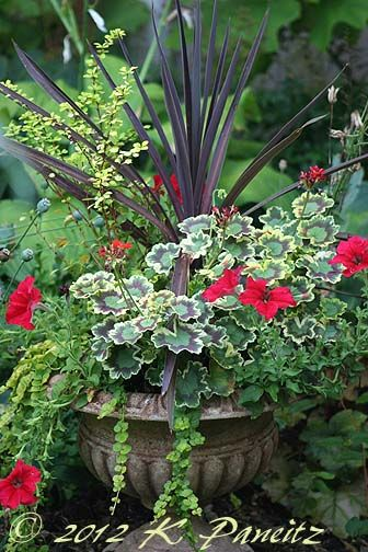Hosta, Zauschneria 'arizonica,'  phygelius, agastache & the red petunias in the little urn container