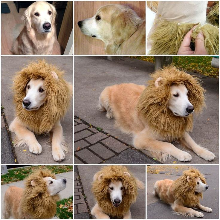 Source:http://www.instructables.com/id/Lion-Dog-Costume/?ALLSTEPS