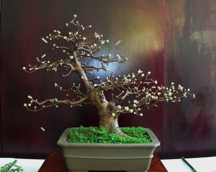 copal bonsai - Buscar con Google