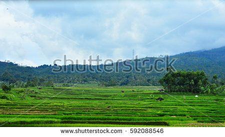 Field Rice in Garut, Indonesia