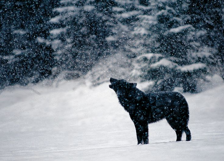 black wolf howling in snow