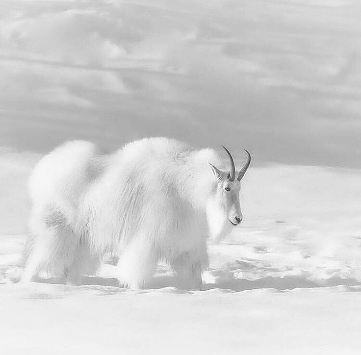 "9,583 Likes, 54 Comments - Destination Wild (@destination_wild) on Instagram: ""A mountain goat of ice mountains in Territory Yukon. © (Andre Figueiredo) #Destination_wild"""