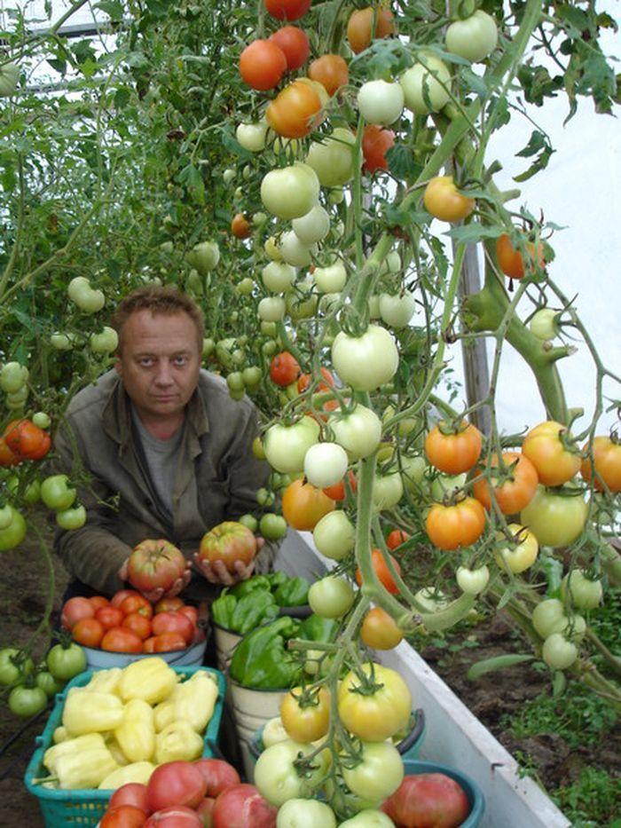 Aj napriek tomu, že nepoužíva chemikálie, jeho rastliny sú ovešané kilami paradajok a paprík a zo zeme vyťahuje 30 centimetrovú hrubú koreňovú zeleninu!
