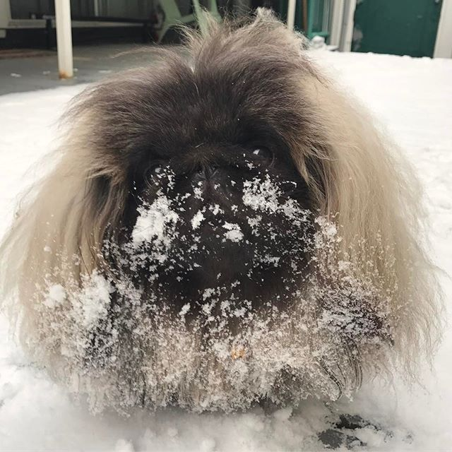 Miso wants more snow! What happened to winter? ❤️❄️ Follow @insta.pekingese for more  via @wontonsoup_the_peke  Love to tag? Please do!⤵    #pekingese #pekingeseofinstagram #pekingeselove #pekingesemix #pekingeselover #pekingesepuppy #pekingese_feature #pekingeseofig #peke #pekestagram #pekesofinstagram #pekerjaan #pekesofig #pekelove #pekena #pekerjakeras #pekerman #pekenomarques #pekistagram #pekines #pekinez #ペキニーズ #페키니즈 #ペキスタグラム #鼻ぺちゃ #愛犬