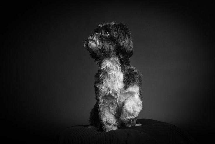 Shooting Kleiner Hund großes Herz – Oskar     #shihtzu #malteser #mix #süßer #hund #dog #neuss #studio #fotografie #hundefotografie #shooting #pfotentick