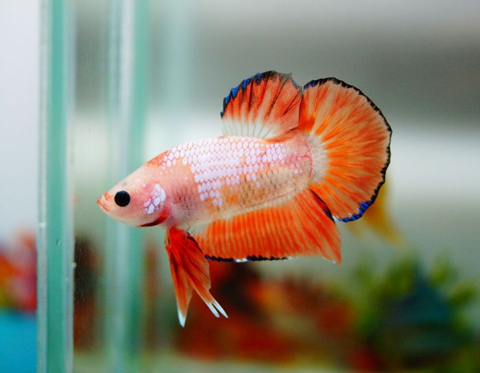 Halfmoon plakat dragonscale betta bettas pinterest for Dragon koi for sale