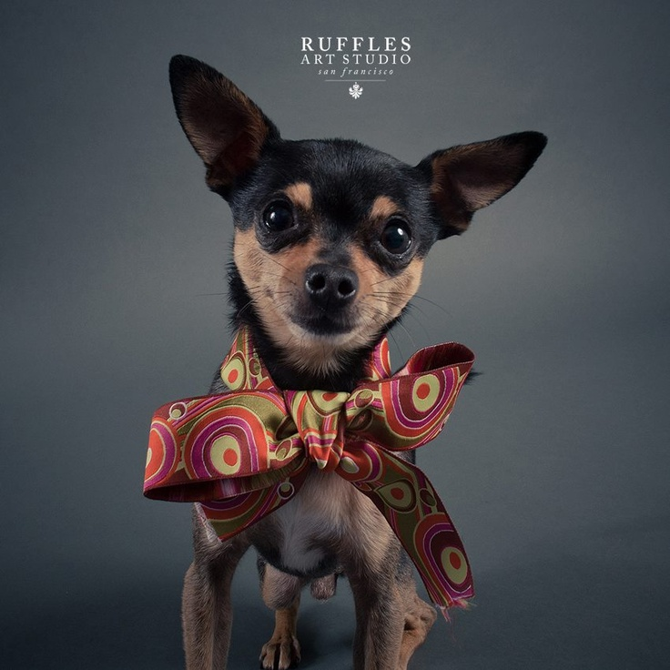 Chihuahua. By Ruffles Art Studio.