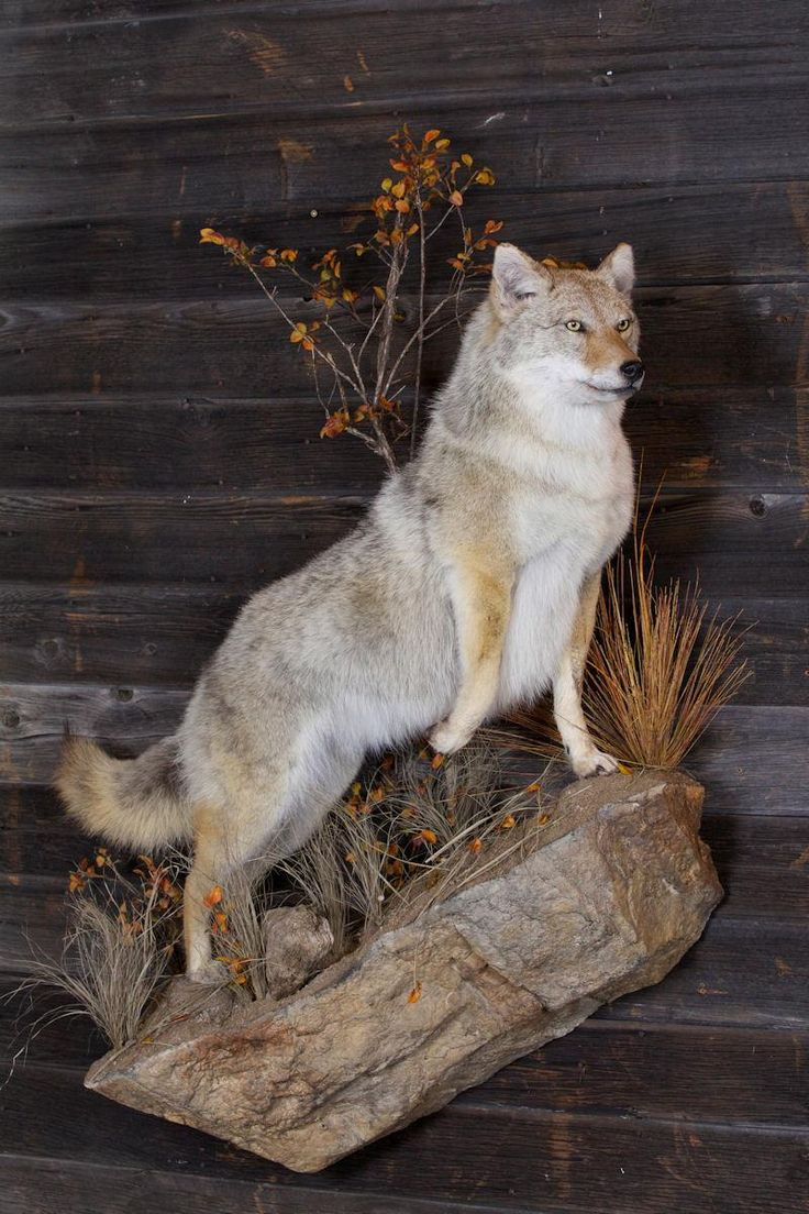 23 Best Coyote Mounts. Images On Pinterest