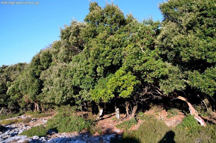 Άρωμα Ικαρίας: Το αρχαίο Δρυοδάσος του Ράντη στην Ικαρία