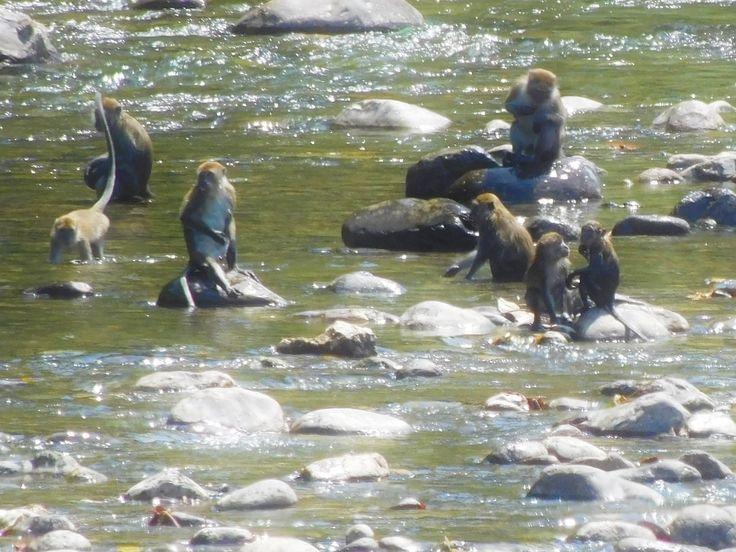 in case you ever wondered - yes, when it's hot enough, macaques love the water!