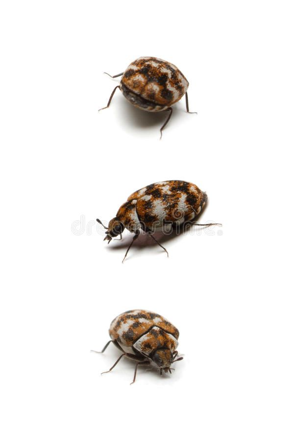 Three Carpet Beetles Isolated On White Three Different Angles Of An Isolated A Ad White Angles Anthrenu Patterned Carpet Pattern Drawing Best Carpet