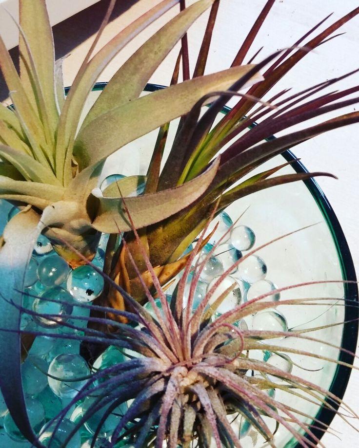 w naszej ofercie #tillandsia #tillands #airplants #oplatwa #hausplants #plants #flowershop #kwiciarnia #zielonamoda #kwiatydoniczkowe #szczecin #flowergfits #flowerbox #gifts