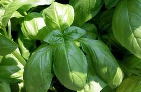 Grow Culinary Herbs: 5 Must-Have Herbs for Your GardenHome Remedies, Essential Oil, Cheese Dips, Chees Dips, Breads Baking, Health Benefits, Herbs Gardens, Culinary Herbs, Basil Plants
