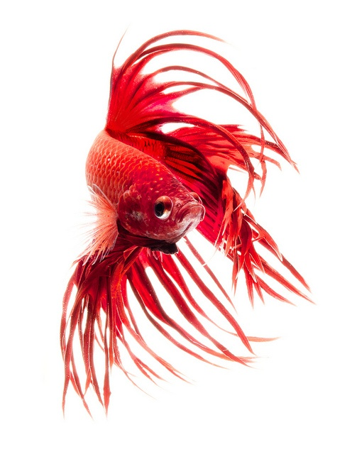 red dragon betta fish by bigfileonly