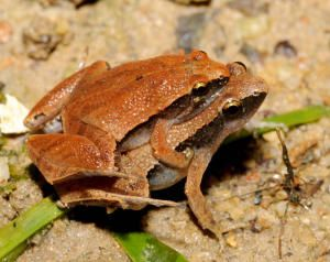 Threatened frogs palmed off as forests disappear. Microhyla heymonsi daicus