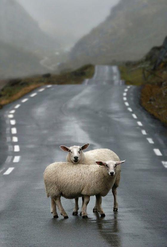 Sheep!  Irish traffic jam!