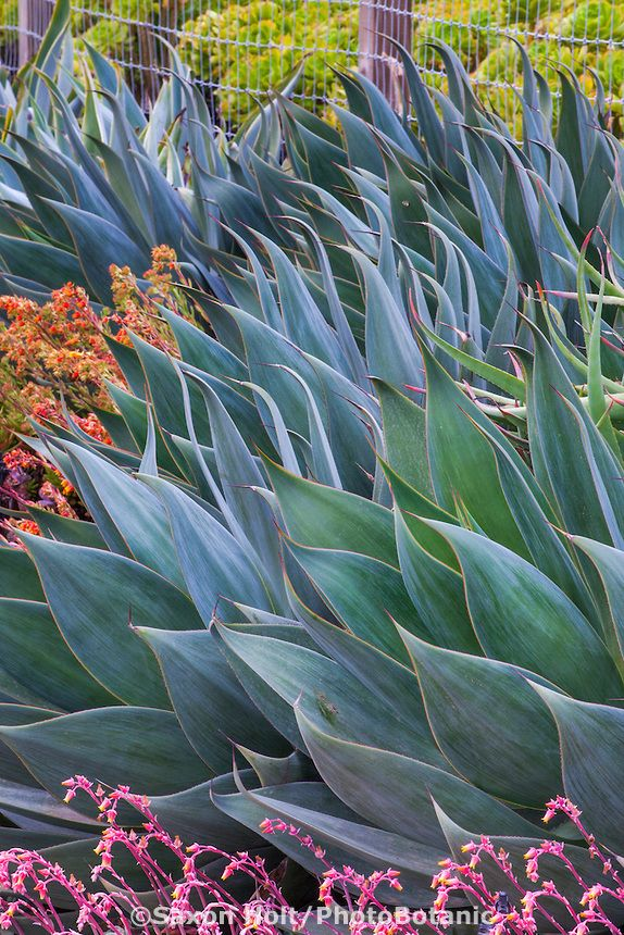 Agave 'Blue Flame', silver blue gray foliage succulent in drought tolerant garden bed