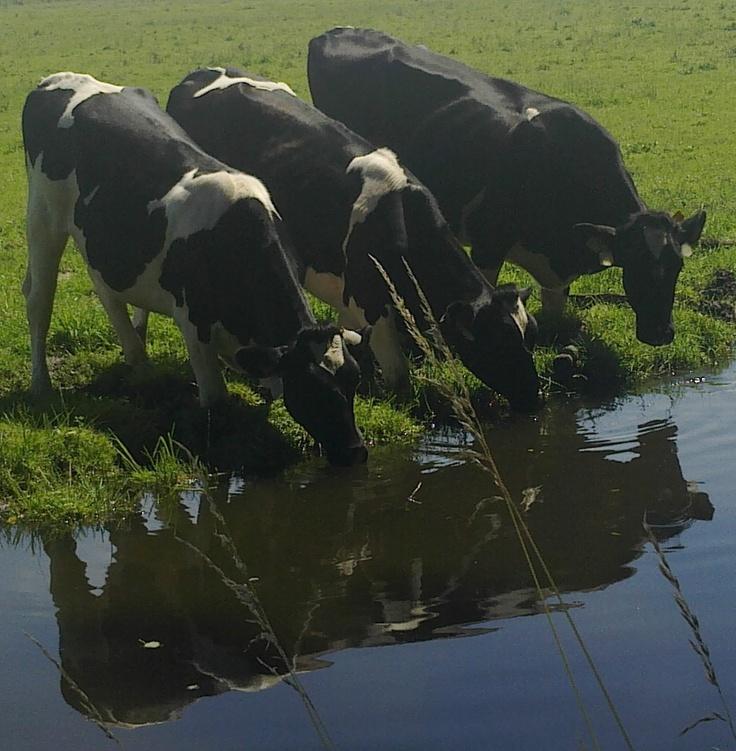 Koeien drinken uit sloot.