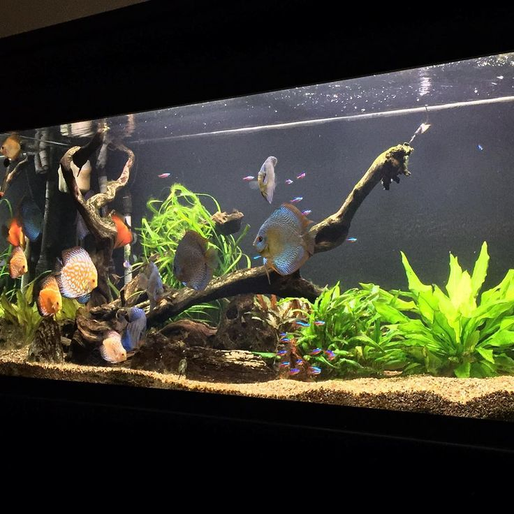 This is our employee Josh's freshwater tank: 120 gallon tank with Discus and other assorted Community fish. #fwfishgeekgrandrapids #freshwatertanks #plantedaquarium #discus #showusyourtanks
