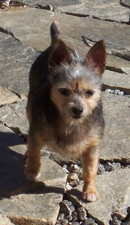 Meet Naddie a Petfinder adoptable Yorkshire Terrier Yorkie Dog | Conover, NC | Naddie is a yorkie but got a little chihuahua in the mixture, most likely. She's estimated to be...