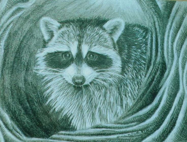275 Best Images About Raccoons Drawings And Paintings Of