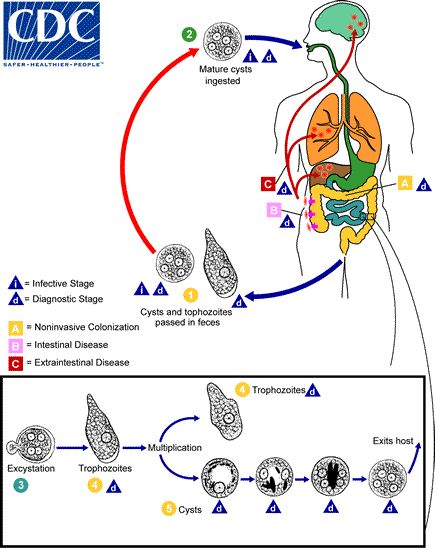 The life cycle of Entamoeba histolytica begins when humans ingest infective cysts via feces, fingers, food, fomites, and fleas. Then the cyst passes to the small intestine where excystation occurs and trophozoites multiply asexually by binary fission. The diagnostic stage is marked by resistant, infective cysts passed in feces.