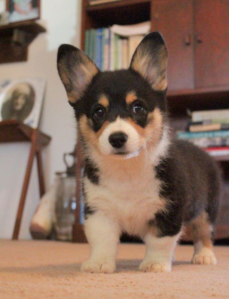 (pinner says) Mini  Pembroke Welch Corgi Puppy dog I want!!!...........they have mini corgis?