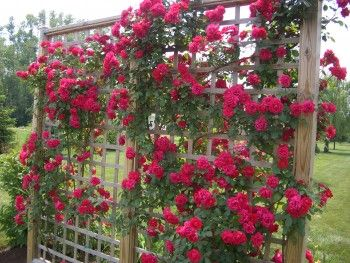 Shaping Climbing Roses:  horizontal canes produce more blooms than vertical ones, so be sure to tie your young canes to your trellis so that they will be able to grow horizontally. Flowers on climbing roses develop at the tips of the shoots. If you allow the shoots to grow straight up, you'll only get blooms right at the top of the plant.