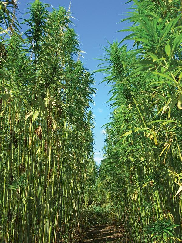 legalization of industrial hemp There has never been a good reason for the ban on industrial hemp it's no more harmful than industrial switchgrass, or industrial lumber for that matter but at the.