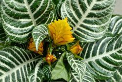 A Spectacular Show  Like drama? Zebra Plant has outrageously bold striped foliage and, for 6 weeks in autumn, vibrant yellow flowers emerge from golden bracts for a scene-stealing performance.  In the wild it thrives in the regular downpours of the Brazilian rain forest. It will also do well indoors if the humidity is high.