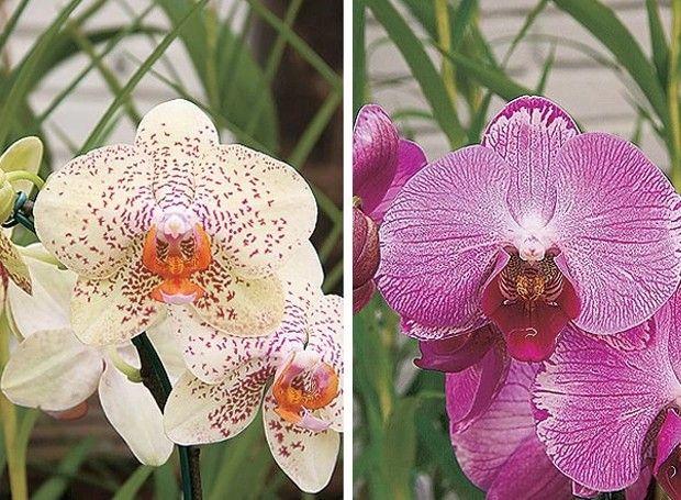 Selecionamos nossas principais reportagens sobre orquídeas. Aprenda a cuidar, cultivar, podar e regar. Leia dicas para iniciantes e veja ambientes para expor as espécies em orquidários, varandas e jardins verticais