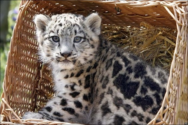 Snow leopards, magnificent, no matter what age.