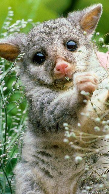 Opossum in a field of flowers
