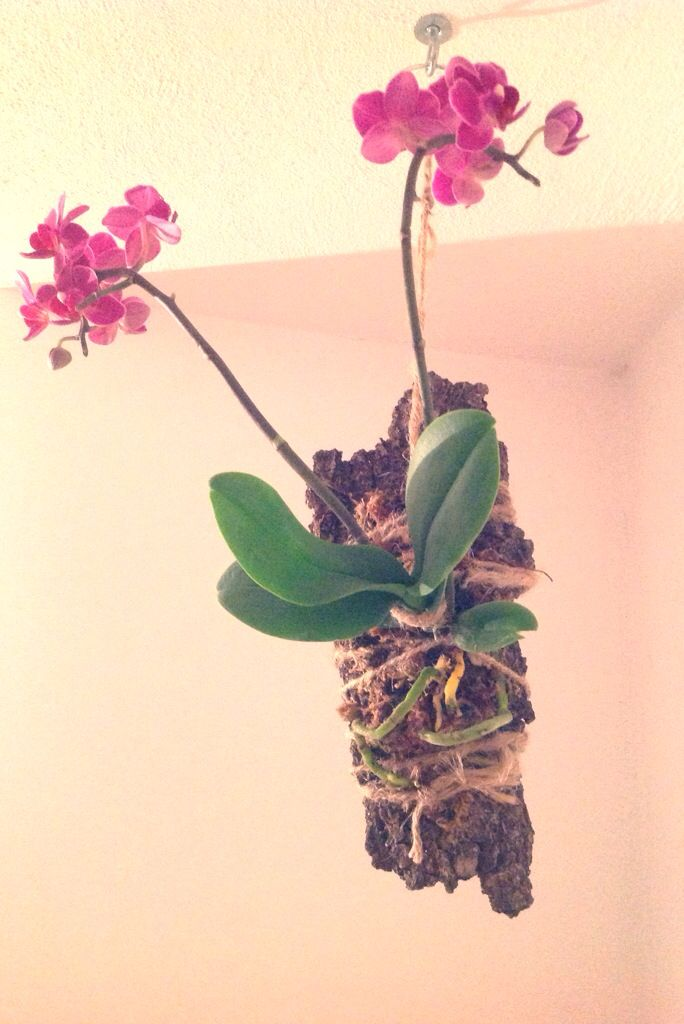 1000  images about hanging orchids on pinterest