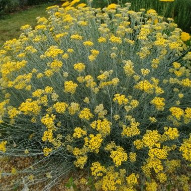 Helichrysum italicum ssp.serotinum. Helichrysum italicum is a flowering plant of the daisy family Asteraceae. It is sometimes called the curry plant because of the strong smell of its leaves. It grows on dry, rocky or sandy ground around the Mediterranean. The stems are woody at the base and can reach 60 cm or more in height. The clusters of yellow flowers are produced in summer, they retain their colour after picking and are used in dried flower arrangements
