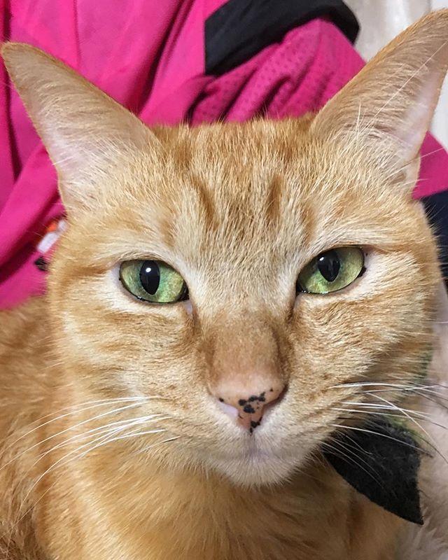 おはにゃん😸💕朝飯とミルク完食にゃ〜😻おいちかったにゃ〜👅😽#きなこ #保護猫 #nofilter #おはよう #ちゃとら #ちゃとら猫 #茶トラ #茶とら #ねこ #ねこすたぐらむ #ねこすき #愛猫 #ねこ部 #猫 #ねこら部 #ねこ好き #cat #catsagram #instacat #ilovemycat #cute #ig_catclub#lovecats #kinaco #lovekittens #tabbycat #redtabby #goodmorning