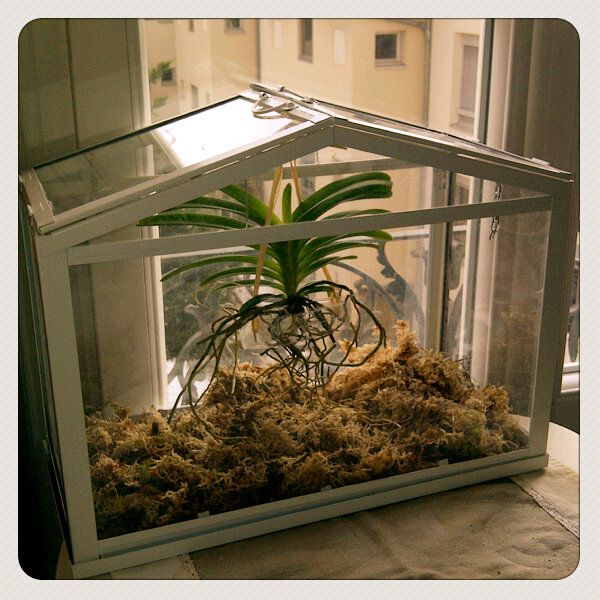 Ikea greenhouse with Vanda Orchid