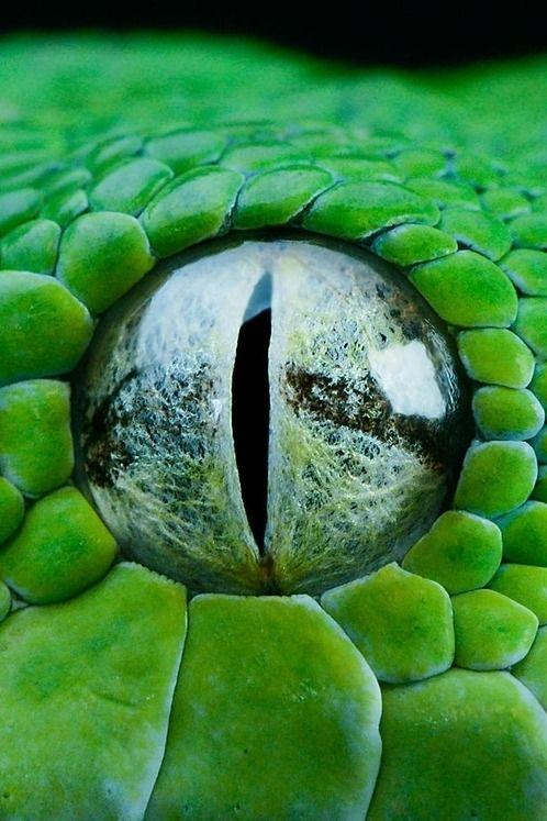 Snake eye close-up...beautiful.   Lovely Creepy-Crawlies ...Close Up Of An Animal Eye