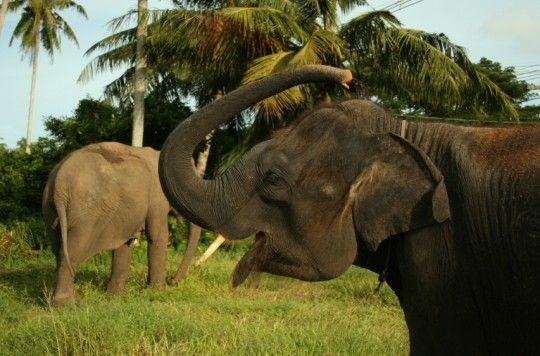 Elephants - Volunteering Abroad: 8 Must-Visit Countries for Animal Do-Gooders http://travelblog.viator.com/volunteering-abroad-with-animals/?aid=Pin1#