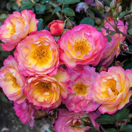 Organic Beauty Products >> watercolors home run shrub rose - reminds me of home ;n ...